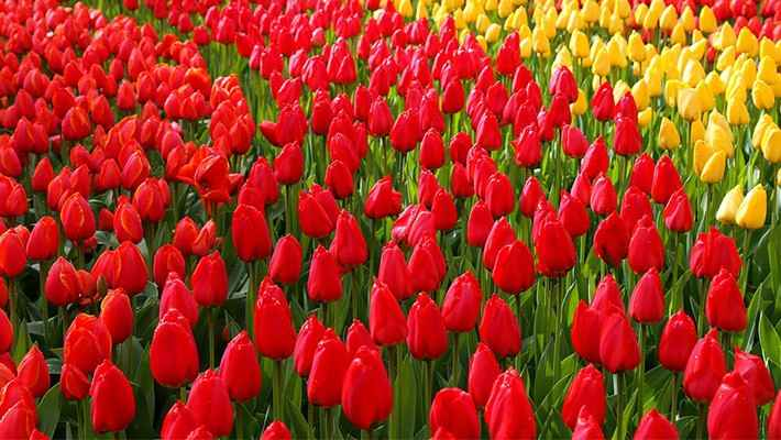 excursion-jardines-de-tulipanes-Keukenhof-2