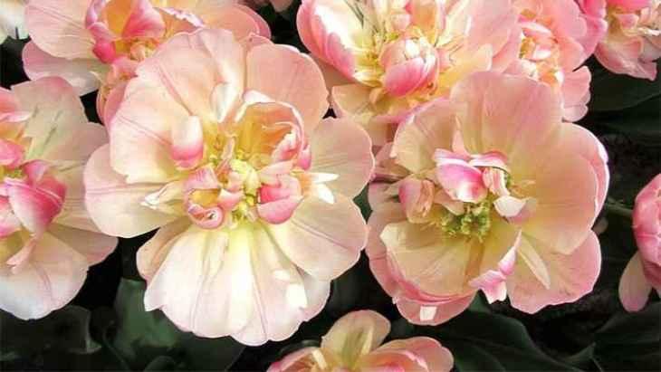 keukenhof-tulip-gardens-day-trip-1