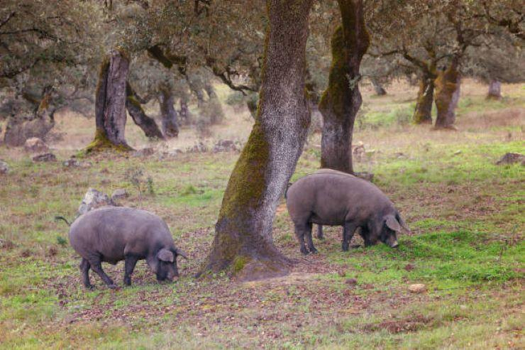 Iberian-Pig-Tour-in-the-Sierra-de-Huelva-5