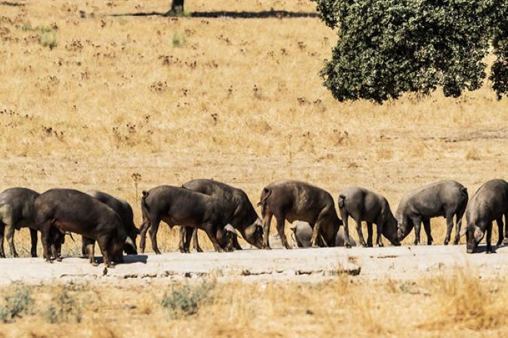 Iberian-Pig-Tour-in-the-Sierra-de-Huelva-2