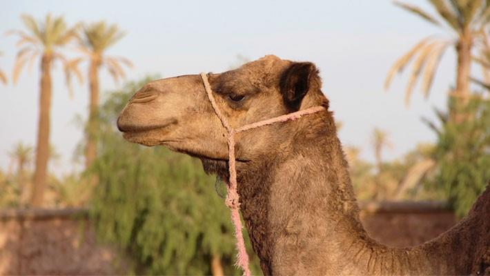 paseo-en-camello-por-el-palmeral-de-marrakech-3