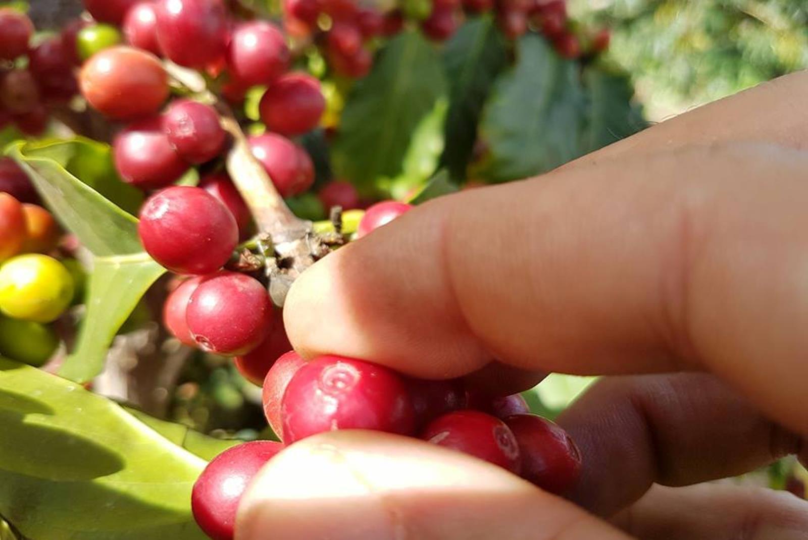 Coffee-Tour-in-Gran-Canaria-5
