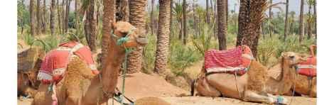 Paseo en camello por el Palmeral de Marrakech