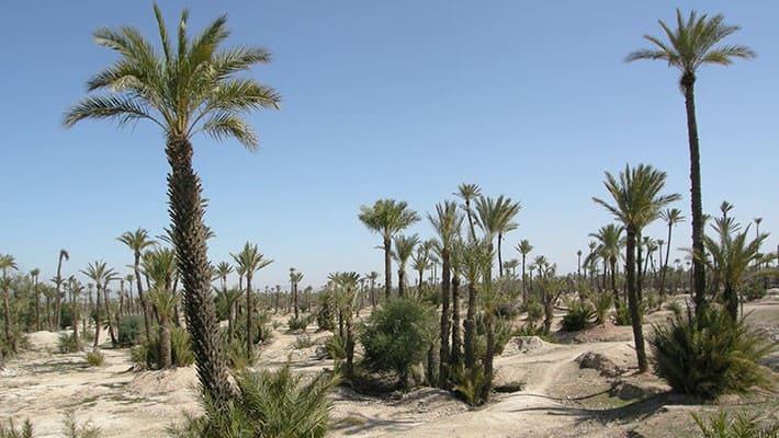 paseo-en-camello-por-el-palmeral-de-marrakech-4