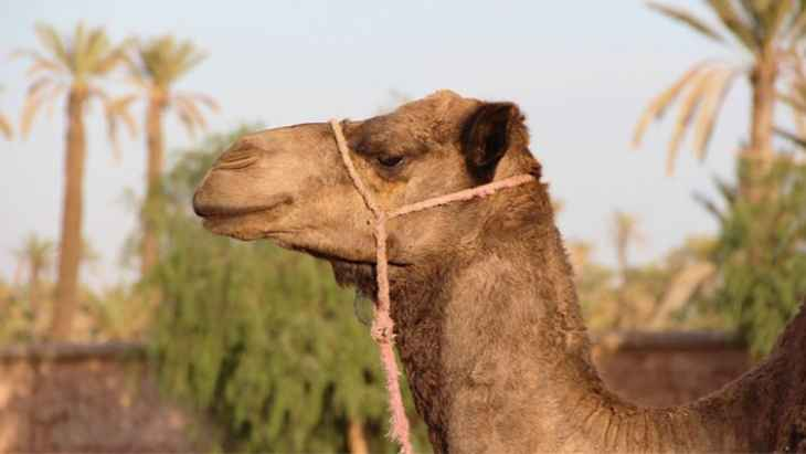 camel-ride-in-the-palm-grove-of-marrakech-3