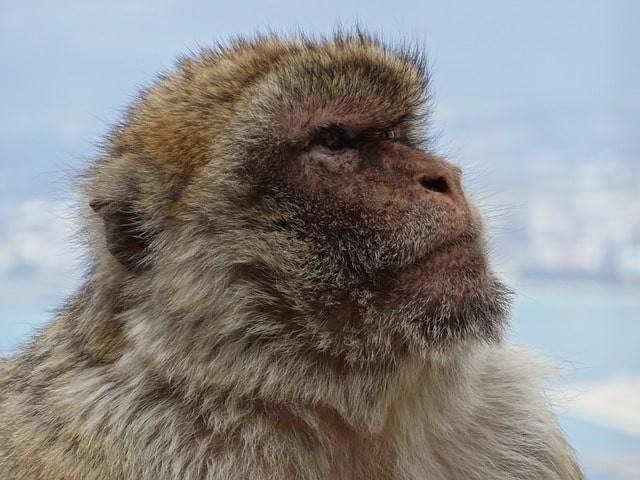 que ver en cadiz monos gibraltar.jpg